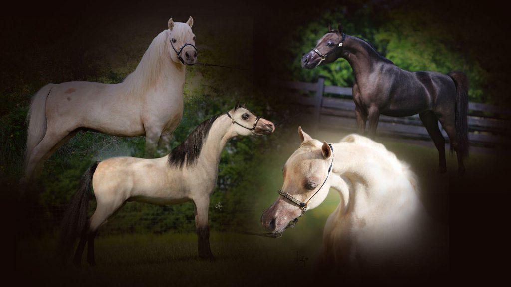Rhea Horses - élevage de chevaux miniatures américains